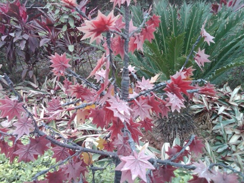 Day 23 a plastic japanese maple why